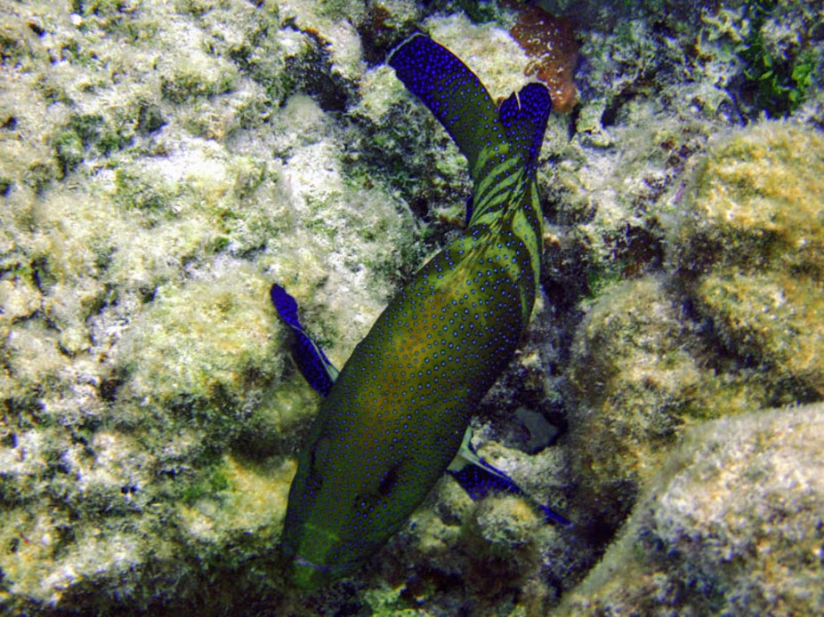Cephalopholis argus (Peacock Grouper), Aitutaki.