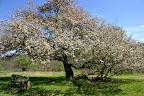 Grandmother Apple Tree.