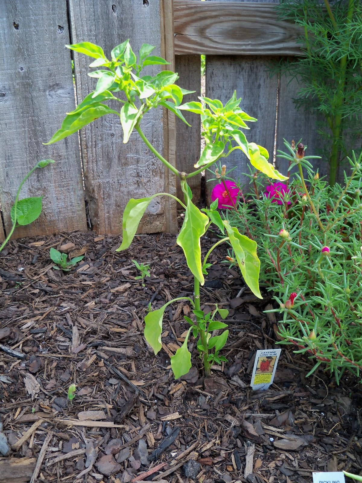 Gardening 2010, Part Two - 101_2645.JPG