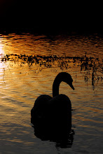 Photo: Swan at sunset. Not a great Saturday out with the camera. This guy is swimming off dejectedly because I didn't feed him.  #SunsetSaturday #365Project