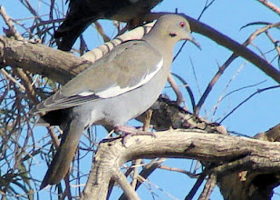 Photo: White-winged dove - Borrego Springs