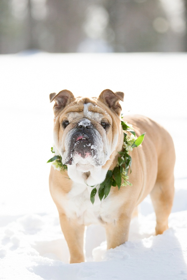 bull dog in snow with winter virginia wedding collar