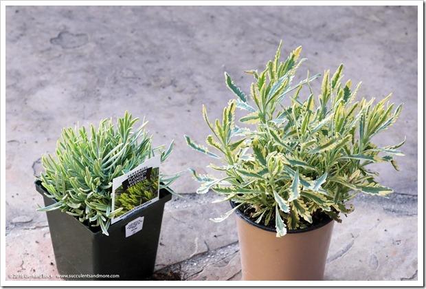 160530_variegated_lavender_001