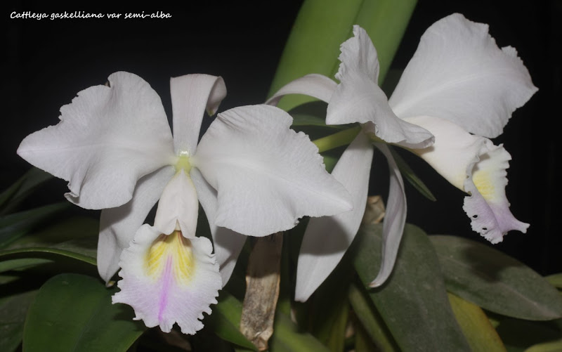 Cattleya gaskelliana var semi-alba IMG_1013b%2520%2528Medium%2529