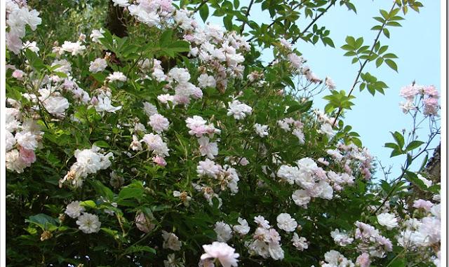 Rose Pauls Himalayan Musk