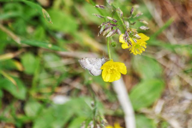Geometridae. Sils-Maria (Grisons, CH), 8 juillet 2013. Photo : J.-M. Gayman