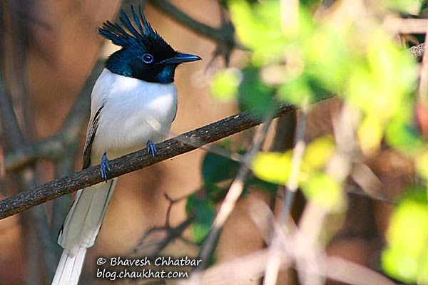 Asian Paradise Flycatcher [Male - Sub-Adult]