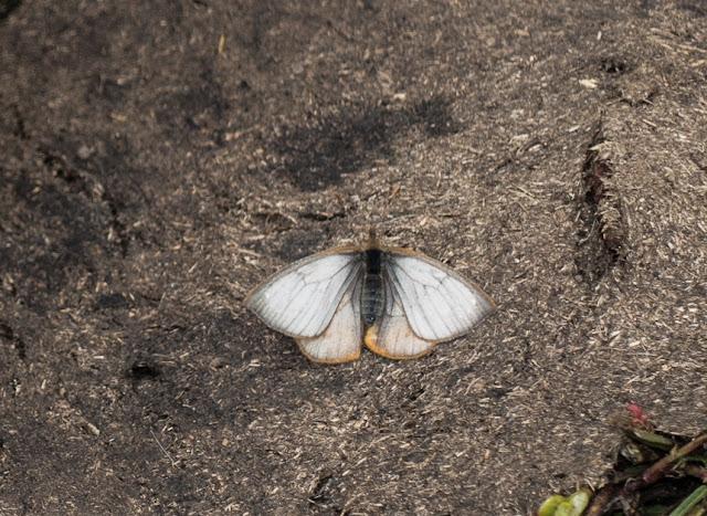 Lymanopoda schmidti Adams, 1986. Cerro del Tablazo (3340 m) (Subachoque, Cundinamarca, Colombie), 28 novembre 2015. Photo : C. Basset