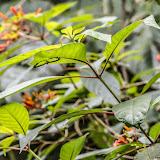 Nymphidium sp. Cascade entre Cachipay et San Rafael, à l'est de Santa María en Boyacá, 890 m (Boyacá, Colombie), 3 novembre 2015. Photo : B. Lalanne-Cassou