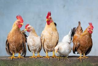 Corona virus found in chicken