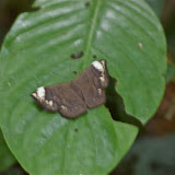 Emesis aurimna BOISDUVAL, 1870 (?). Partie orientale d'Ilha Grande (RJ), 17 février 2011. Photo : J.-M. Gayman