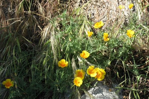 bi-colored poppies in a clump