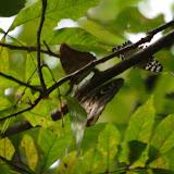 Prepona sp., Caligo sp. et Hamadryas feronia farinulenta (Fruhstorfer, 1916). Fundo Palmarito, 265 m (Yopal, Casanare, Colombie), 8 novembre 2015. Photo : J.-M. Gayman