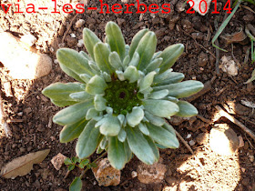 Evax nain Filago pygmaea.jpg