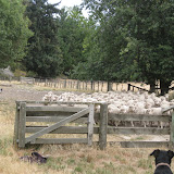 Sheep dogs in action