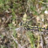 Gomphidae : Onychogomphus uncatus (CHARPENTIER, 1840). Aix-en-Provence (13, France), 31 juillet 2014. Photo : J.-M. Gayman