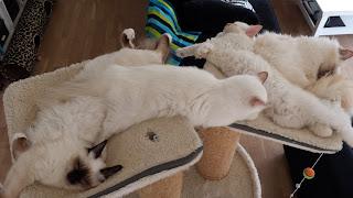 Fuldt hus i kattetårnet. Mor (øverst i billedet) og hele kuldet. 5 mdr. gl.