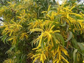 Photo: fleur de la famille du mimosa