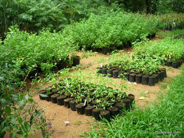 Carissa Plant - DSCN2924.JPG