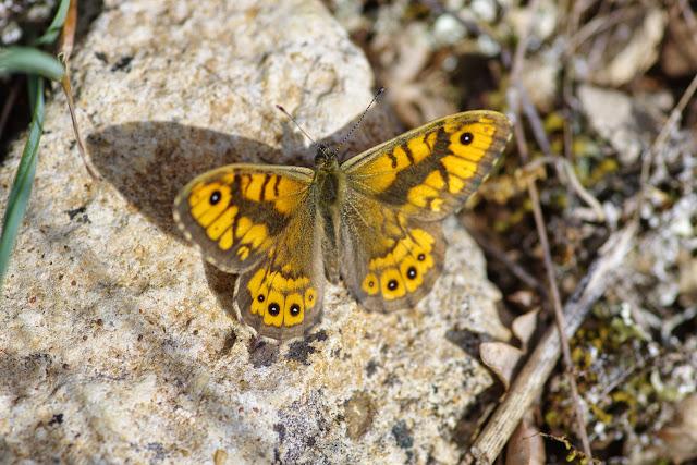 Lasiommata megera (L., 1767), mâle. Les Hautes Courennes, 558 m (Saint-Martin-de-Castillon, Vaucluse), 12 mai 2014. Photo : J.-M. Gayman