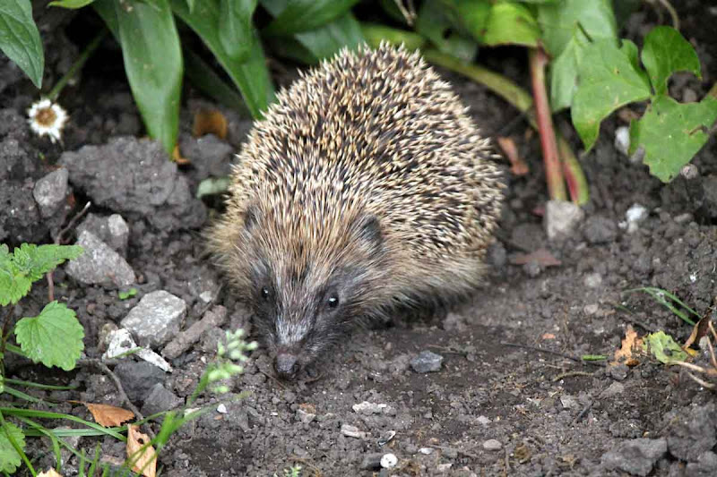 Hedgehog-1