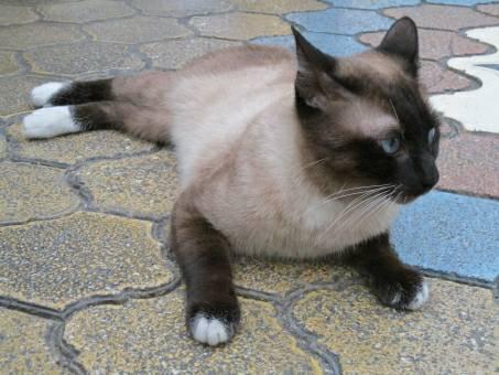 シャム猫の写真