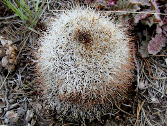 Cute furry cactus