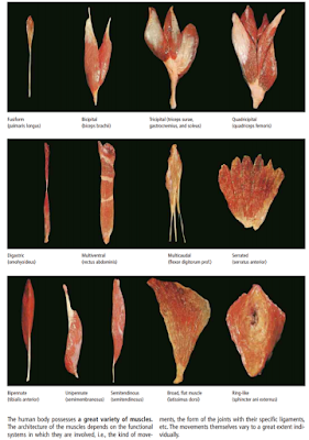 Artikel ini akan membahas mengenai anatomi fisiologi sistem muskuloskeletal pada tubuh manusia. Bahasan yang akan dicakup diantaranya penjelasan sistem muskuler pada tubuh manusia dan sistem skeletal pada tubuh manusia. Untuk mengetahui lebih lanjut silahkan simak dan baca artikel ini.