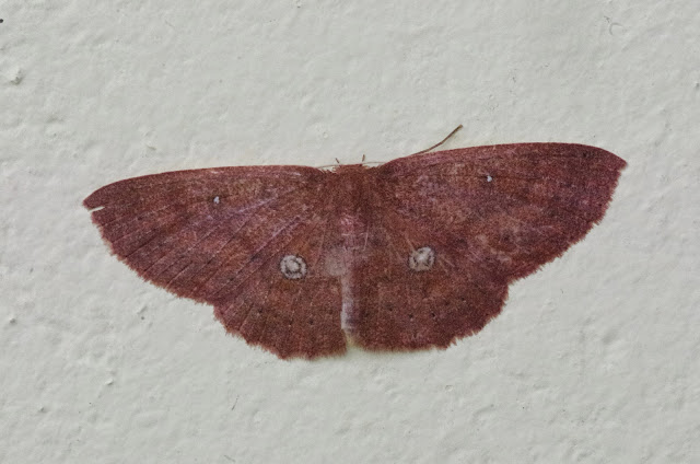 Sterrhinae : Cyclophora sp. Mount Totumas, 1900 m (Chiriquí, Panamá), 21 octobre 2014. Photo : J.-M. Gayman