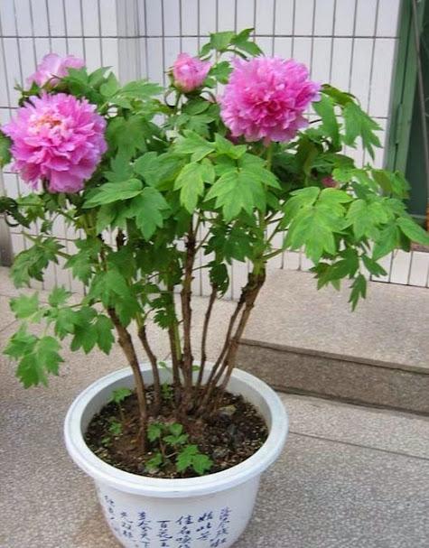 10x rockii paeonia pfingstrosen blume samen flower seeds aus china 23 varianten ebay. Black Bedroom Furniture Sets. Home Design Ideas