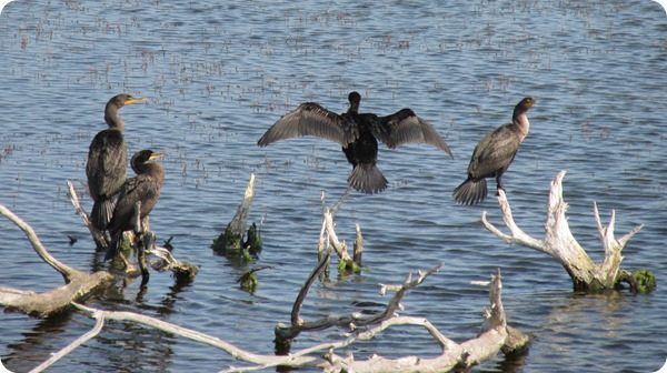 IMG_8554 Double Crested Cormorant Bird (2)