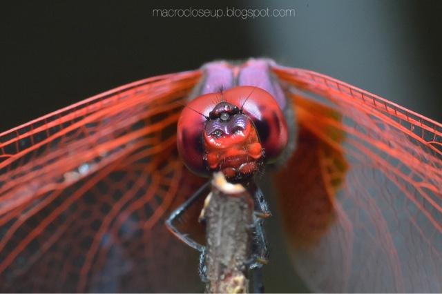 Macro photo - Dragonfly