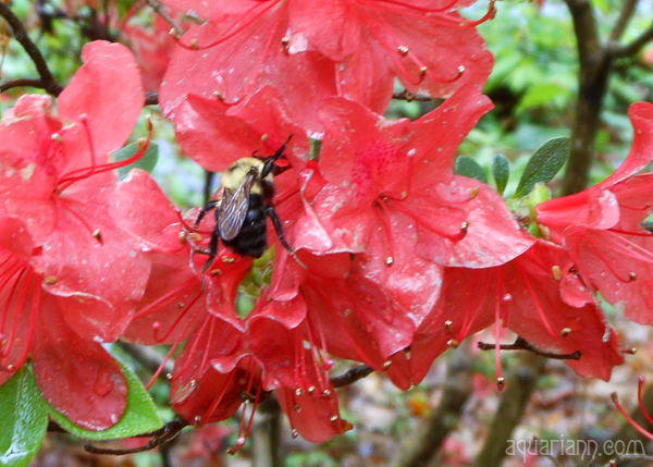 Red Azalea Photo