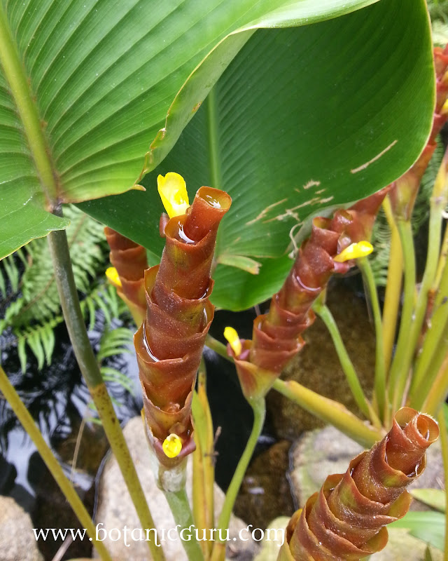 Calathea lutea, Cuban Cigar bract and flowers