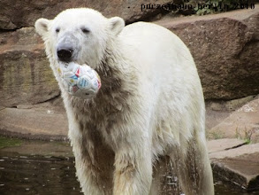 Photo: Knut ist in Ballspiel-Laune :-)