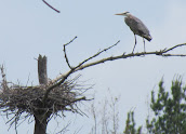 Heron Colony at Libby Hill-010.JPG