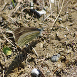 Pieris bryoniae (HÜBNER, 1806), femelle. Fex Curtins, 2000 m (Engadine, Grisons, CH), 12 juillet 2013. Photo : J.-M. Gayman