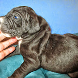 Available black male @ 3 weeks