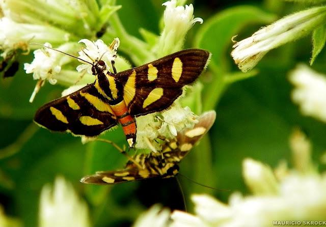 Crambidae : Syngamia florella (STOLL, 1781). Environs de Curitiba, Paraná. 23 avril 2011. Photo : Mauricio Skrock