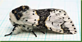 71.006 Alder kitten May 2018 (1)