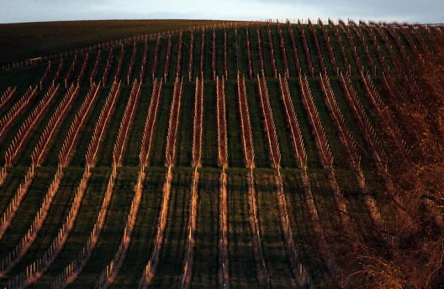 Rows of vines can be seen at sunset at Yalumba's Jansz estate in the Tamar Valley, located in the northeast of Tasmania, 4 June 2014. Photo: Reuters / David Gray