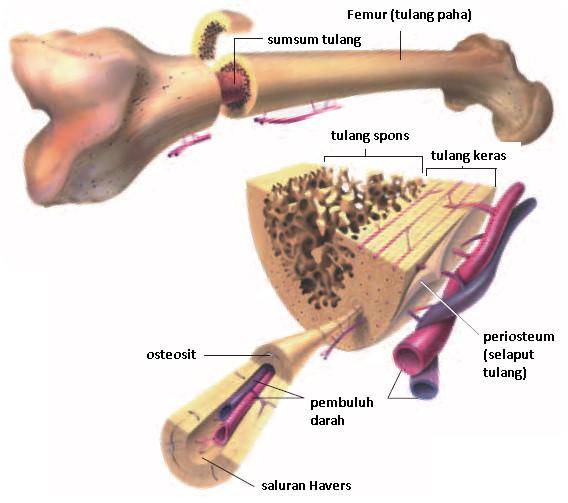 FastStoneEditor Sistem gerak pada manusia (1) : Tulang