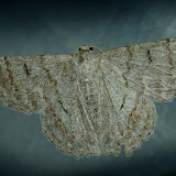 Geometridae : Geometrinae : Hypobapta tachyhalotaria HAUSMANN et al., 2009. Umina Beach (N. S. W., Australie), 25 janvier 2012. Photo : Barbara Kedzierski