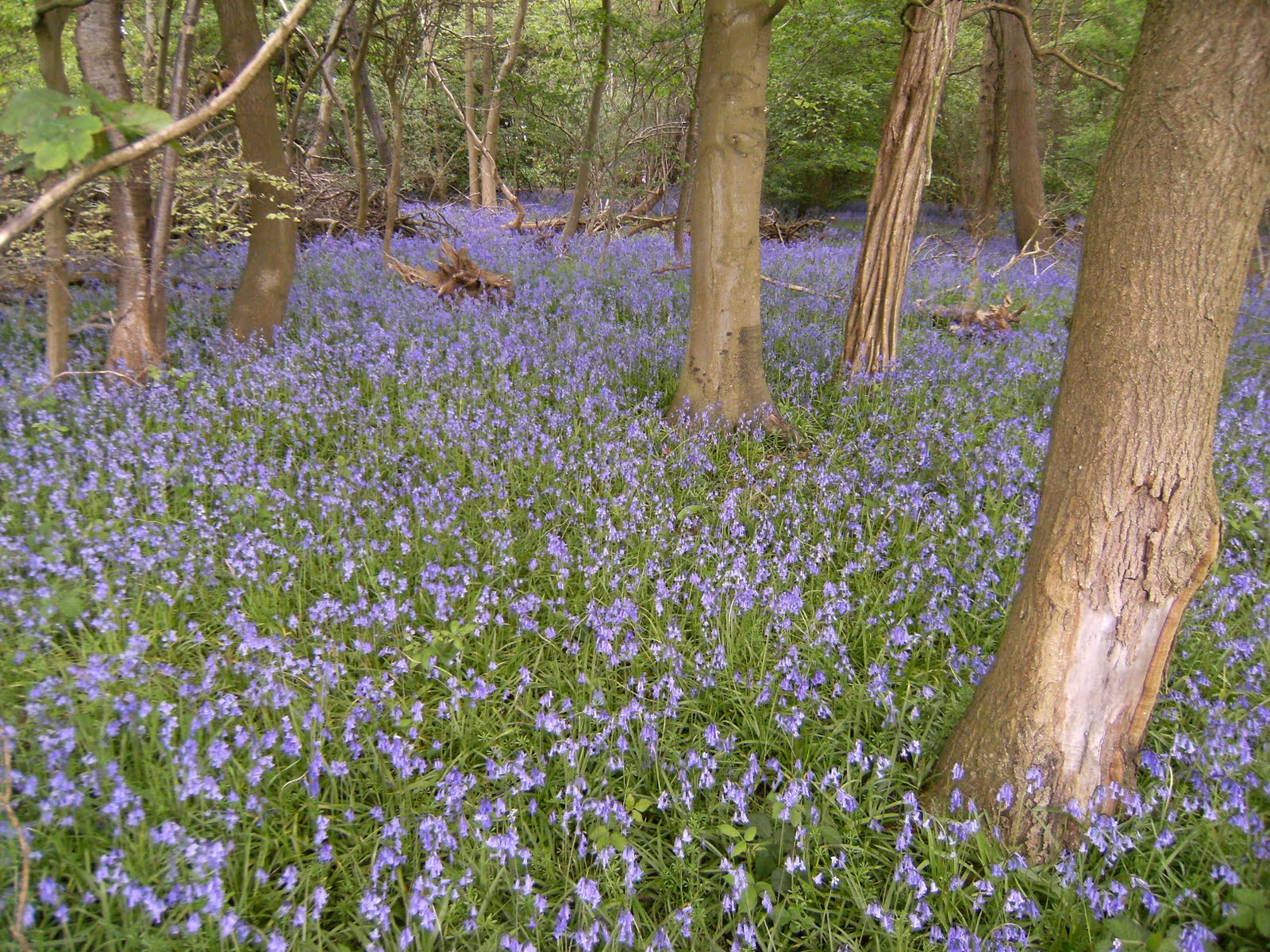1005150003 Bluebell wood near Latimer Park