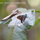 Urbanus virescens (MABILLE, 1877). Saül, novembre 2012. Photo : M. Belloin