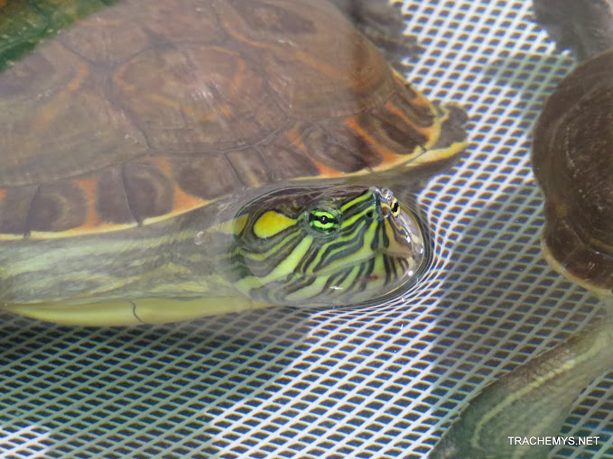mes tortues (BK) - Page 10 IMG_2117