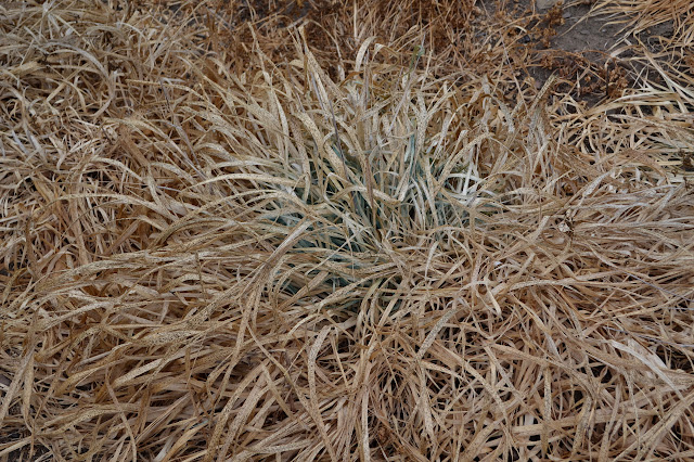 clump of nearly dried grass