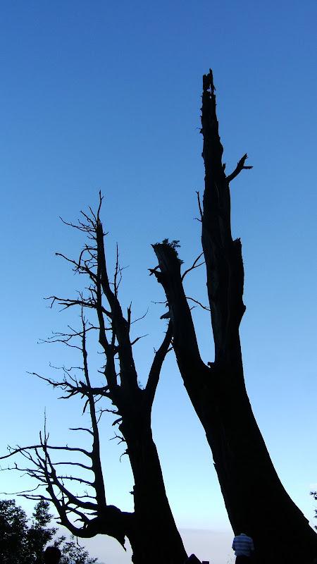 Alishan famous trees