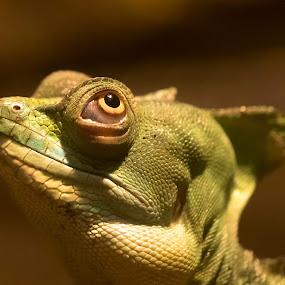 by Jürgen Sprengart - Animals Amphibians ( look, wasseragame, eye )