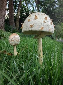 Amanita citrina (False Death Cap mushrooms)